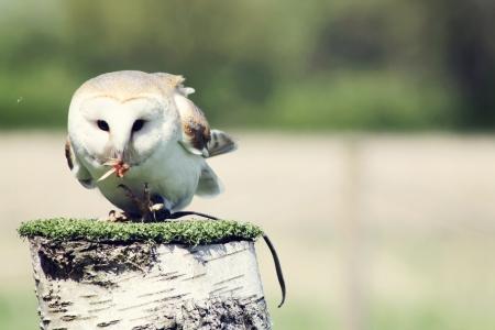 stunning barn owl photo