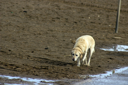 labrador dog on beach  photo
