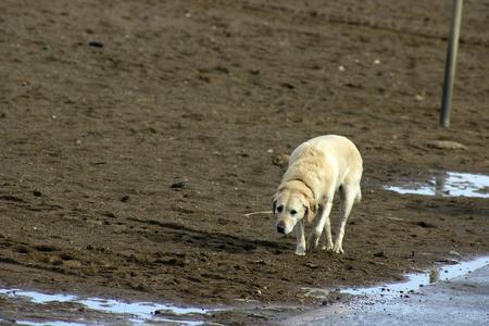 labrador dog on beach Stock Photo - 27083029