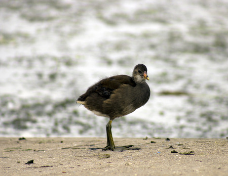 gamebird: moorhen Stock Photo