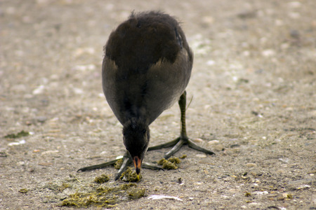 moor hen photo