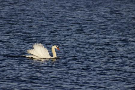 pond life: white swan on a lake