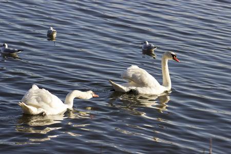 mute swan: swans on lake