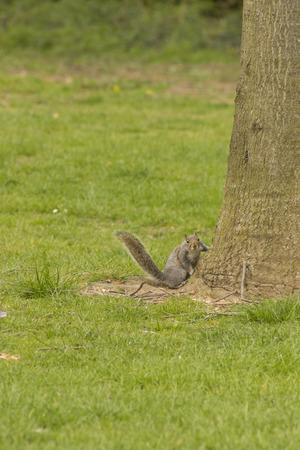 carolinensis: grey squirrel