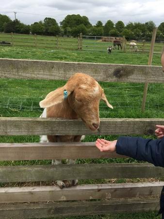 fence: Goat