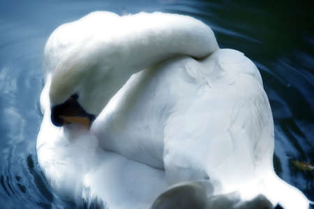 White swan on a lake - Soft focus photo Stock Photo - 851743