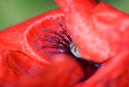 Beautiful red poppy , macro with shallow DOF photo
