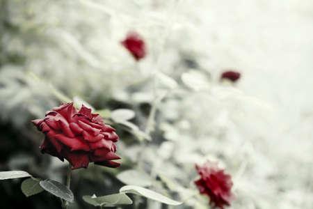Beautyful rosas en un jardín, foto Reto estilo entonado con el DOF bajo y espacio para el texto Foto de archivo - 11120312