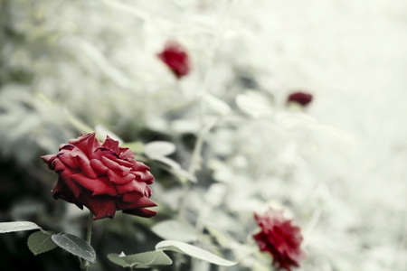 Beautyful roses in a garden , reto style toned photo with shallow DOF and space for your text photo