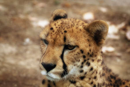 irbis: Close up of a cheetah in the nature