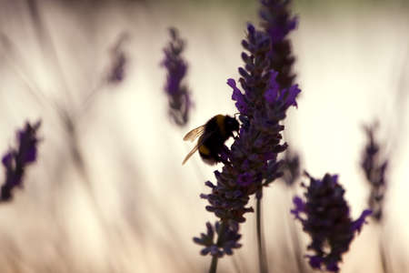 Bumble bee on a violet  lavender flower photo
