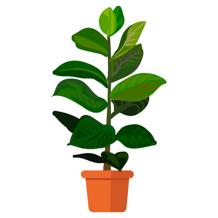 plant pot: illustration plant in pot. Rubber plant in pot