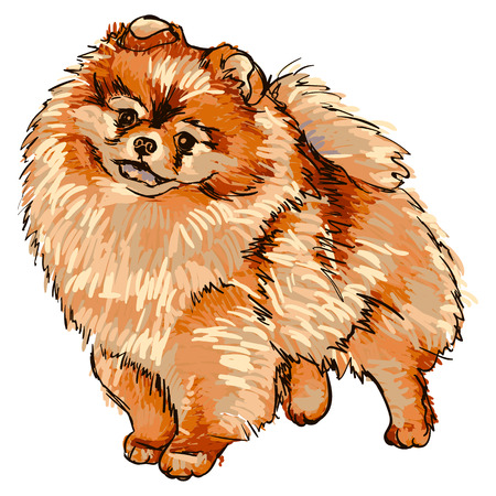 Illustratie van hondenras Pomeranian