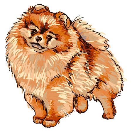 Illustration of dog breed Pomeranian