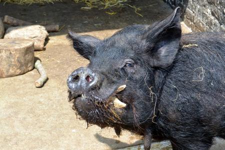 bristly: Bristly black pig Stock Photo