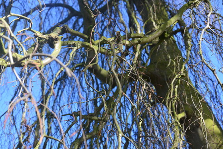 weeping willow: Under the weeping willow with blue sky peeping through