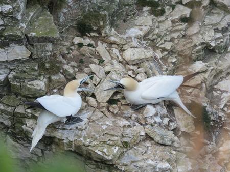 bird sanctuary: Bempton Bird Sanctuary East Yorkshire UK