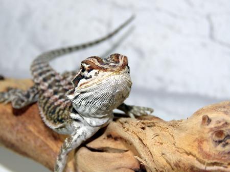 bearded dragon lizard: Baby Bearded Dragon Stock Photo