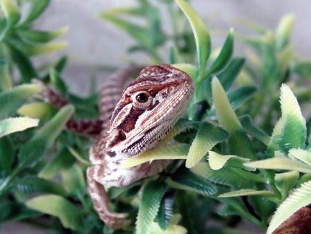 bearded dragon: Baby Bearded Dragon Stock Photo