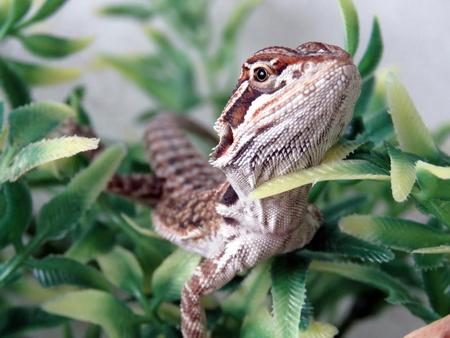 bearded: Baby Bearded Dragon Stock Photo