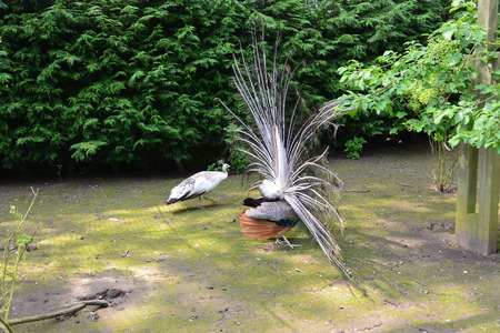 peahen: Pair of Mating Peafowl Stock Photo