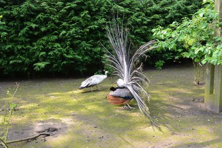 peafowl: Pair of Mating Peafowl Stock Photo