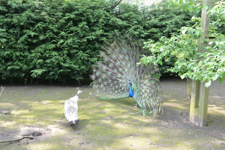 peafowl: Pair of Mating Peafowl Stock Photo
