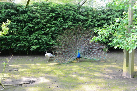 peahen: Peacock and Peahen in the Park