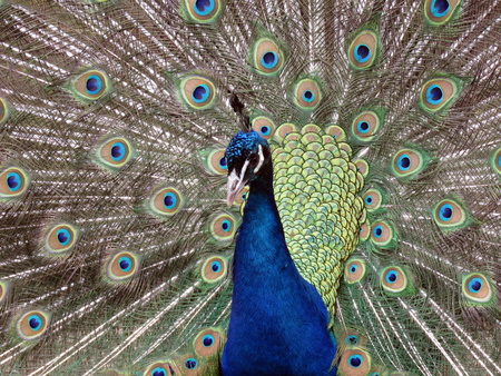 strutting: Peacock showing off his tail feathers Stock Photo