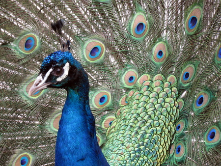 tail fan: Peacock showing off his tail feathers Stock Photo