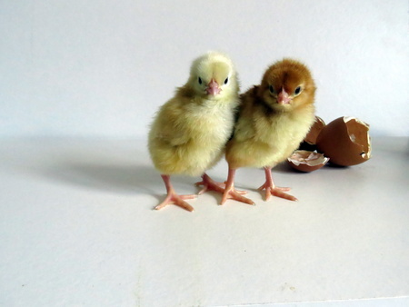 Baby Chicks Stock Photo