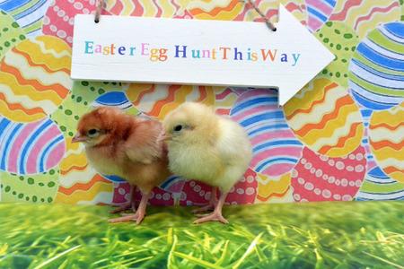 chicks: Baby Chicks Stock Photo