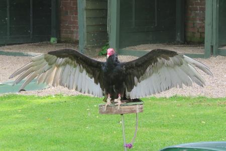 scavenging: Turkey Vulture Stock Photo