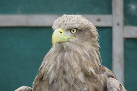scavenging: White Tailed Sea Eagle
