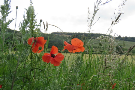 appeals: Poppies at the edge of the meadow