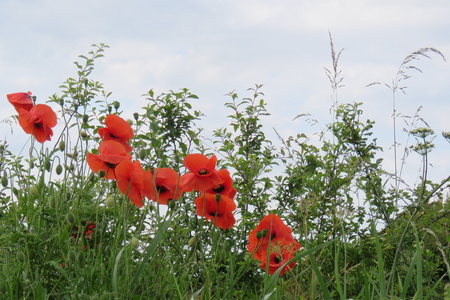 armistice: Poppies at the edge of the meadow