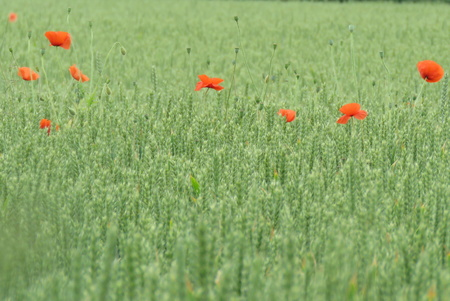 papery: Poppies at the edge of the meadow