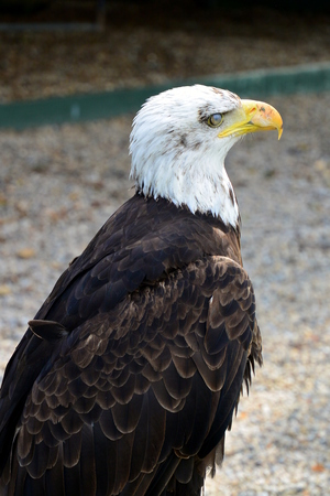 scavenging: Bald eagle Stock Photo