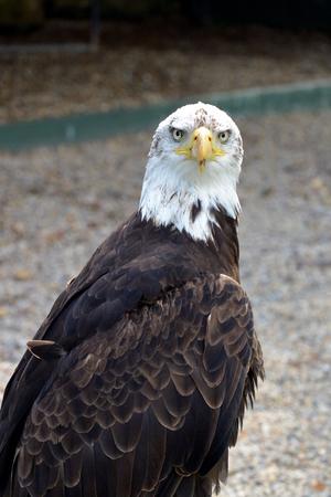 scavenging: Bald Eagle