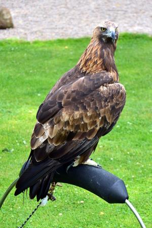 aguila real: Golden Eagle