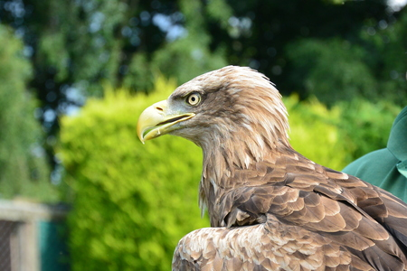 roosting: White Tailed Sea Eagle
