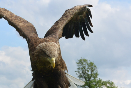 white tailed: White Tailed Sea Eagle
