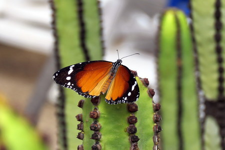 Plain Tiger Butterfly also known as an African Monarch Stock Photo