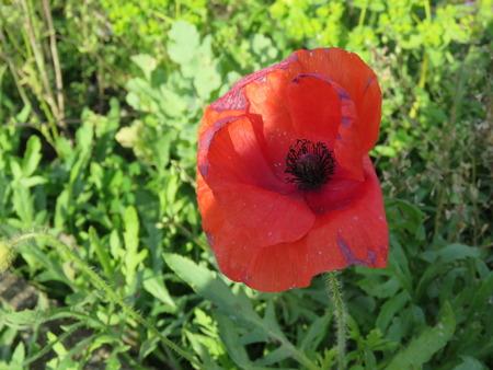 armistice: Single Poppy Close Up