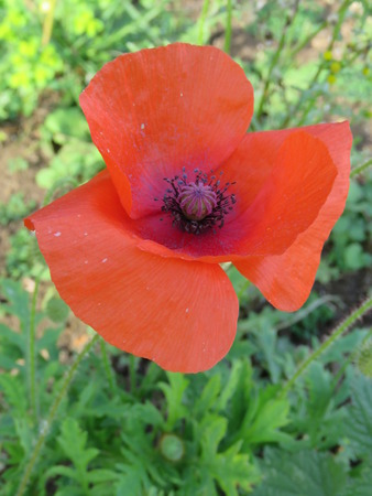 Single Poppy Close Up