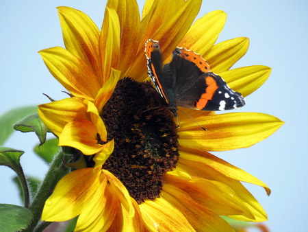 colorful butterfly: Red Admiral Butterfly on a Sunflower Stock Photo