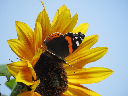 admiral: Red Admiral Butterfly on a Sunflower Stock Photo