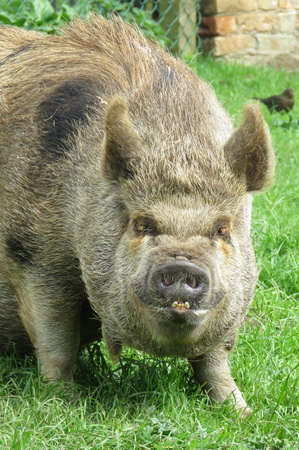 comical: Brown pig in a field with comical expression on its face