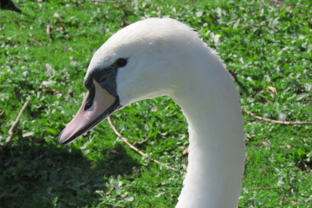 mere: Close up of a swan on the mere at Hornsea, East Yorkshire UK