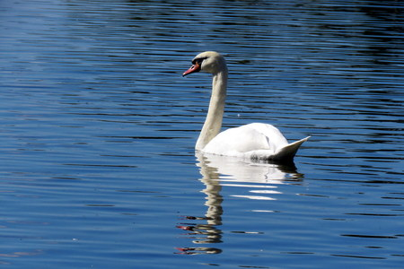 mere: A Swan gliding on the mere at Hornsea, East Yorkshire UK